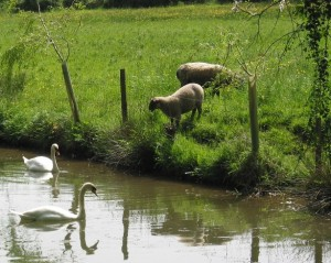 Swans & sheep CROPPED